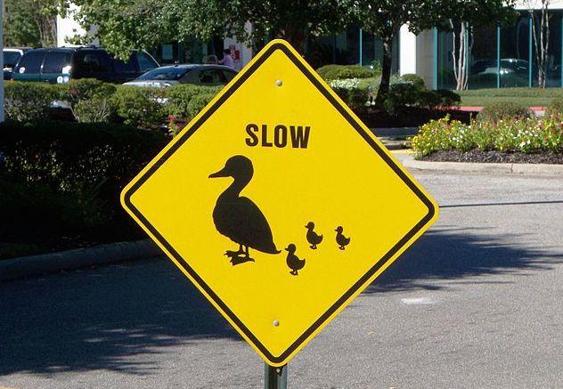 Duck_crossing_Louisiana_2010-10-15
